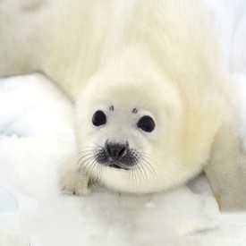 baby seals